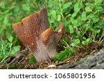 violet chanterelle  gomphus...   Shutterstock . vector #1065801956
