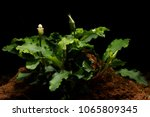 Bucephalandra Sp ' Wavy Green'...
