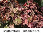 Small photo of Close up view from above of heuchera micrantha plant, also called alumroot, saxifragaceae family. Pattern of palmately lobed pink and purple leaves on long petioles. Natural image of colorful plants.