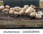 cultivation of brown...   Shutterstock . vector #1065828905