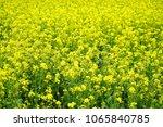 korea rapeseed flower | Shutterstock . vector #1065840785