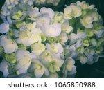 beautiful blue hydrangea. | Shutterstock . vector #1065850988
