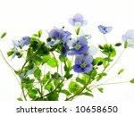close up of fine blue speedwell ... | Shutterstock . vector #10658650