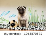 puppy of the pug breed lies on...   Shutterstock . vector #1065870572