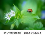 macro photo of ladybug in the...