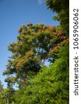 Small photo of An African tulip tree in a botanical garden near Poipu, Kauai, Hawaii