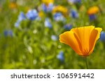 ������, ������: Californian poppy