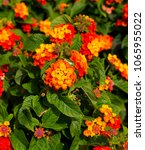 Lantana's Aromatic Flower...