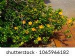 dainty little yellow flowered... | Shutterstock . vector #1065966182
