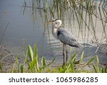 Adult Great Blue Heron Poses...