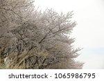 white cherry blossom in korea | Shutterstock . vector #1065986795