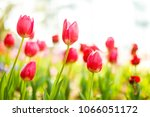 group of colorful tulip. soft... | Shutterstock . vector #1066051172