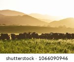 Large Livestock Of Cows In A...