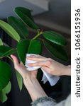 Small photo of The concept of plant care, women's hands rubbed the large leaves of ficus from dust, real life.