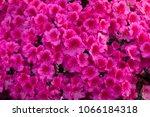 big pink azalea bush in the... | Shutterstock . vector #1066184318