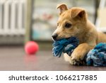 Stock photo a red puppy is playing on the floor 1066217885