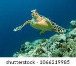 hawksbill sea turtle posing in... | Shutterstock . vector #1066219985