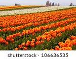 Red Orange White Tulips Flowers ...