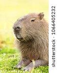 capybara  hydrochaeris...   Shutterstock . vector #1066405232