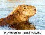 capybara  hydrochaeris...   Shutterstock . vector #1066405262
