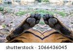 close up tiger feet | Shutterstock . vector #1066436045