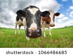 funny cow nose close up outdoors | Shutterstock . vector #1066486685