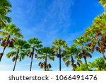palm trees against blue sky   Shutterstock . vector #1066491476