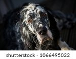 dog english setter | Shutterstock . vector #1066495022