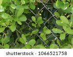 beautiful green bush behind the ... | Shutterstock . vector #1066521758