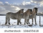 3 Fjord Horses In A Snowy...