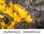 yellow crocus flowers from...   Shutterstock . vector #1066603112