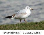 black headed gull ... | Shutterstock . vector #1066624256