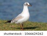black headed gull ... | Shutterstock . vector #1066624262