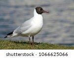 black headed gulls ... | Shutterstock . vector #1066625066
