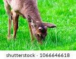 horizontal shot of a young buck ... | Shutterstock . vector #1066646618