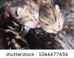 Stock photo newborn kittens sleep 1066677656