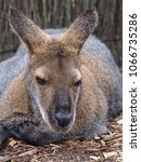 Small photo of Calm Leisurely Swamp Wallaby in a Laid-Back Sedate Pose.