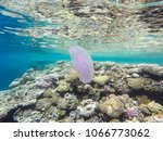 observation of jellyfish during ... | Shutterstock . vector #1066773062