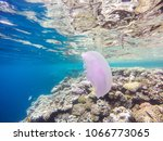 observation of jellyfish during ... | Shutterstock . vector #1066773065