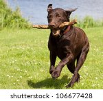 Stock photo a brown labrador running with a stick in its mouth in a grass field 106677428