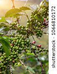 coffee beans ripening on tree... | Shutterstock . vector #1066810172