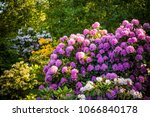 Rhododendron Plants In Bloom...