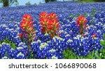 Beautiful Texas Bluebonnets...