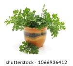 bunch of green parsley in... | Shutterstock . vector #1066936412