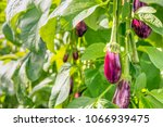 close up of many ripening... | Shutterstock . vector #1066939475