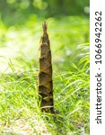 Small photo of Bamboo shoot, Bamboo sprout