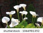White Calla Lily Blossoms In...