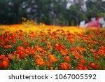 mexican aster cosmos sulphureus ... | Shutterstock . vector #1067005592