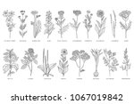 various medicinal plants and... | Shutterstock .eps vector #1067019842