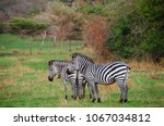 zebras in lake mburo national... | Shutterstock . vector #1067034812